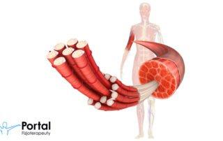Podział mięśni (klasyfikacja, rodzaje)