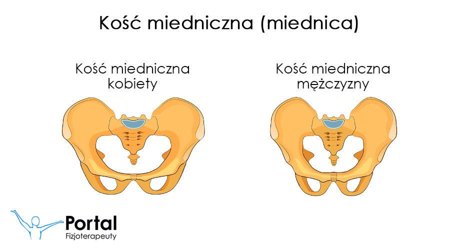 Kość miedniczna (miednica)