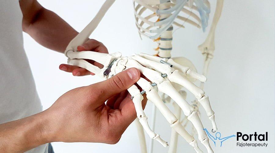 Kości Kończyny Górnej Portal Fizjoterapeuty