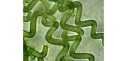 Spirulina widziana pod mikroskopem
