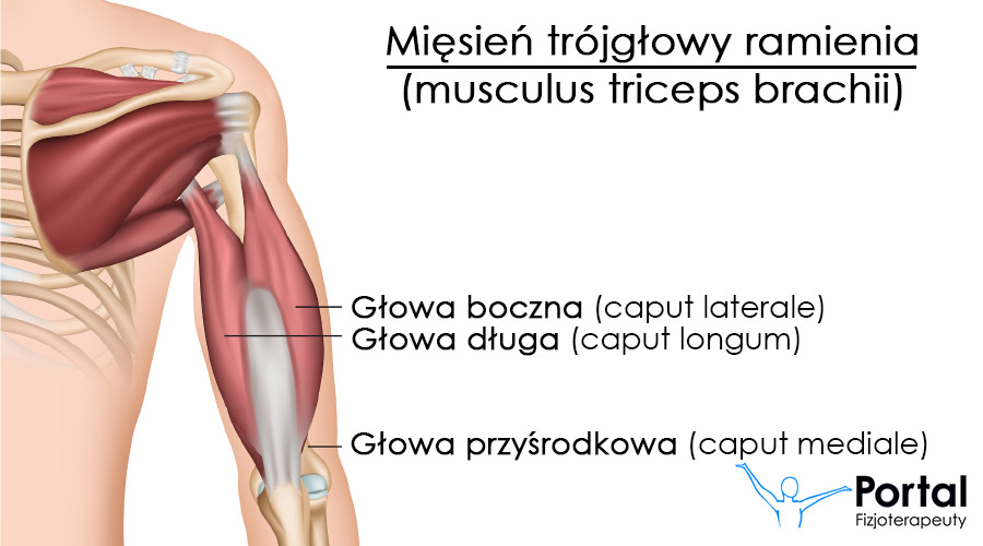 Mięsień trójgłowy ramienia