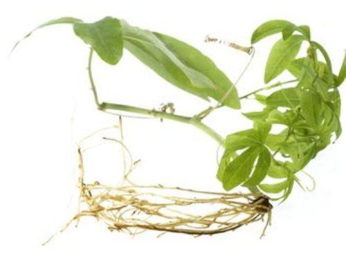 Kudzu – lecznicza roślina z gór Japonii