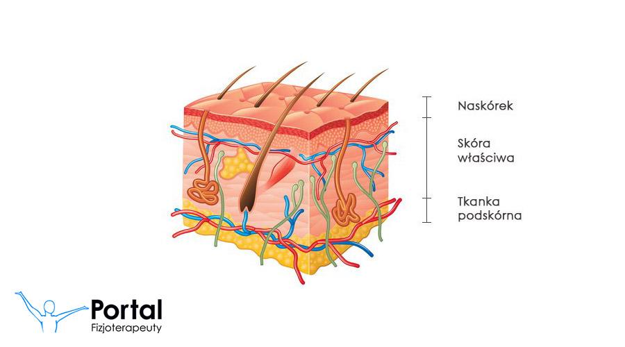 Znalezione obrazy dla zapytania budowa skóry