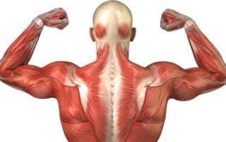 Powierzchowne mięśnie grzbietu
