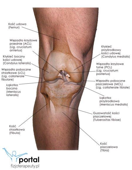 Staw kolanowy anatomia kolana
