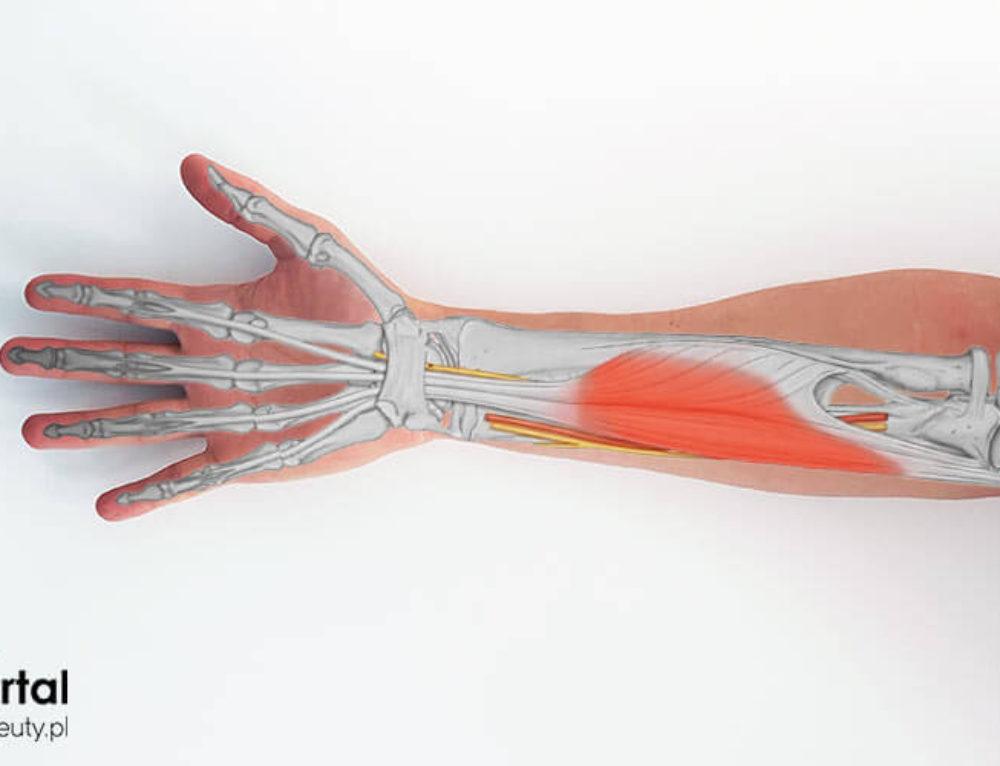 Mięsień zginacz powierzchowny palców