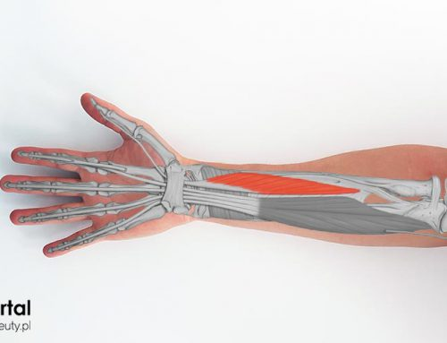 Mięsień zginacz długi kciuka