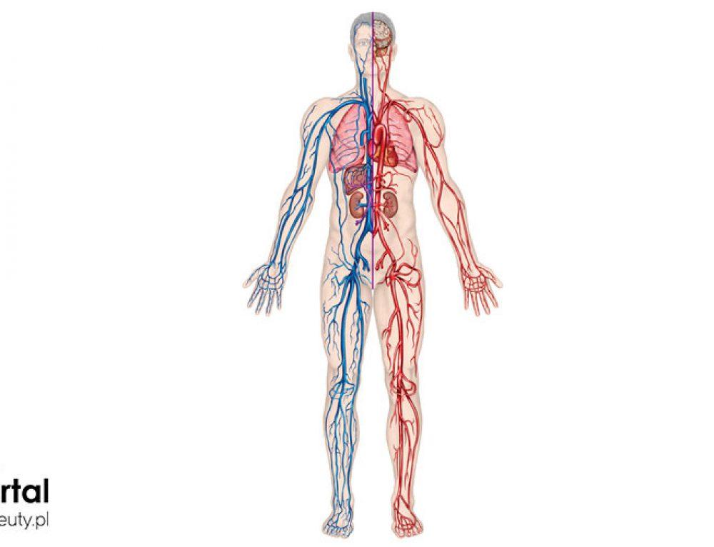 Układ krwionośny – podstawowe informacje