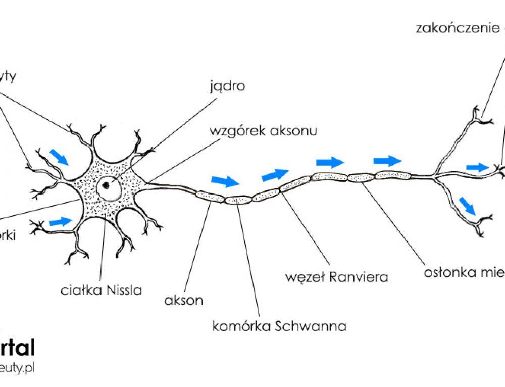 Układ nerwowy – podstawowe informacje