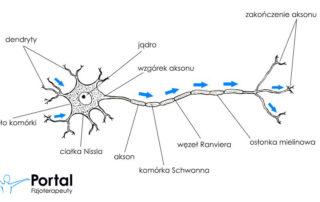 Układ nerwowy - budowa neuronu i włókien nerwowych