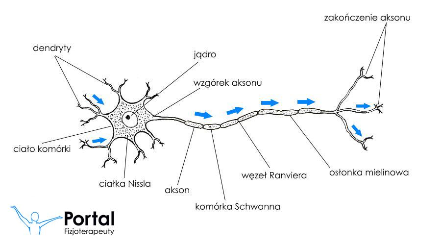 Układ nerwowy budowa neuronu i włókien nerwowych