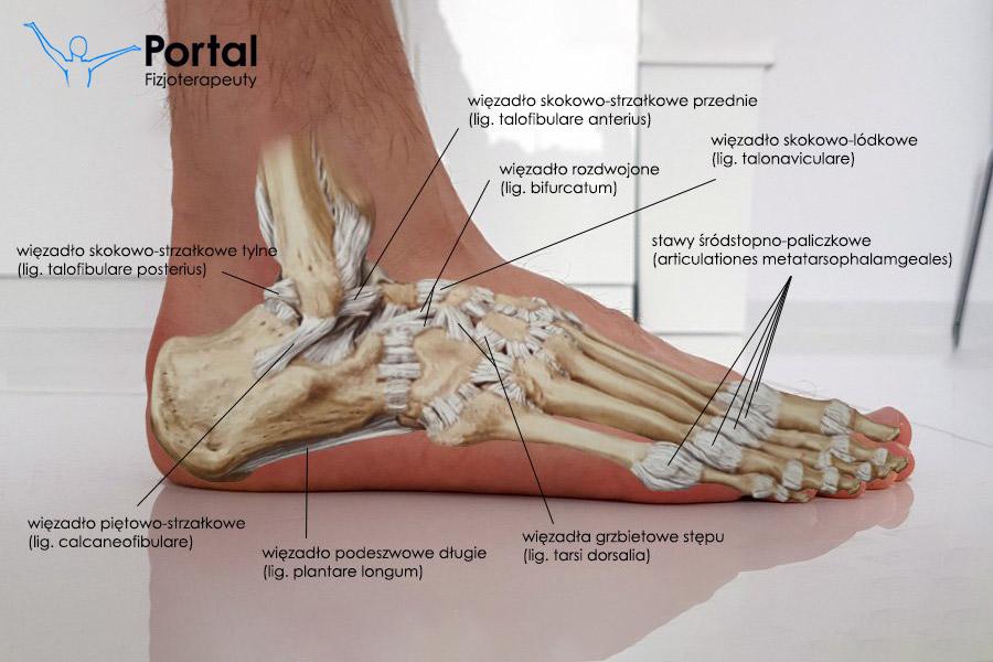 Stopa - stawy, więzadła, mięśnie