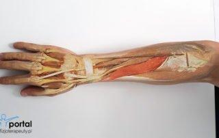 mięsień odwodziciel długi kciuka