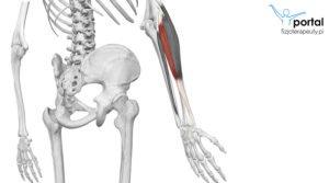 Mięsień prostownik promieniowy krótki nadgarstka