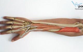 Mięsień odwracacz (musculus supinator)