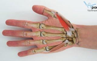 Mięsień zginacz krótki kciuka