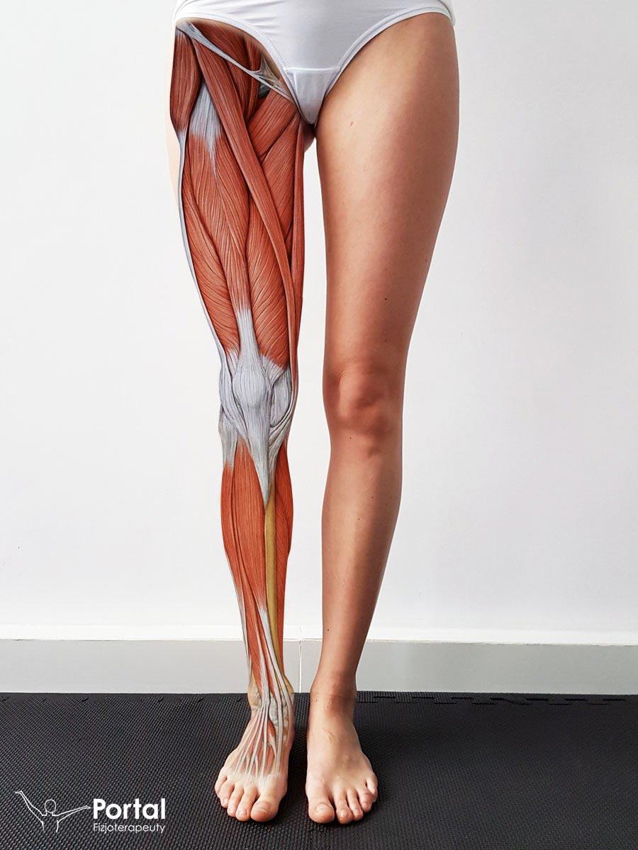 Mięśnie kończyny dolnej - przyczepy i funkcje