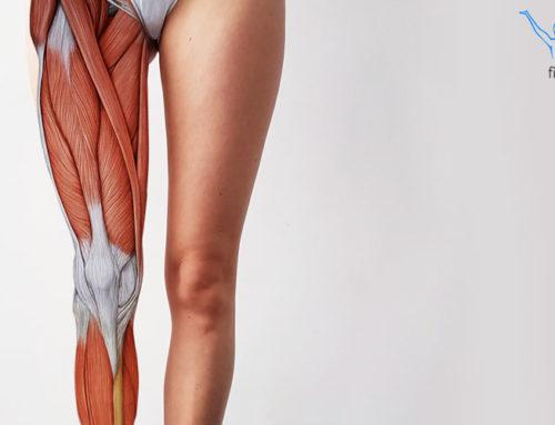 Mięśnie kończyny dolnej – przyczepy i funkcje