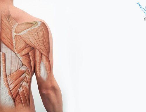 Mięśnie grzbietu – podział i funkcje
