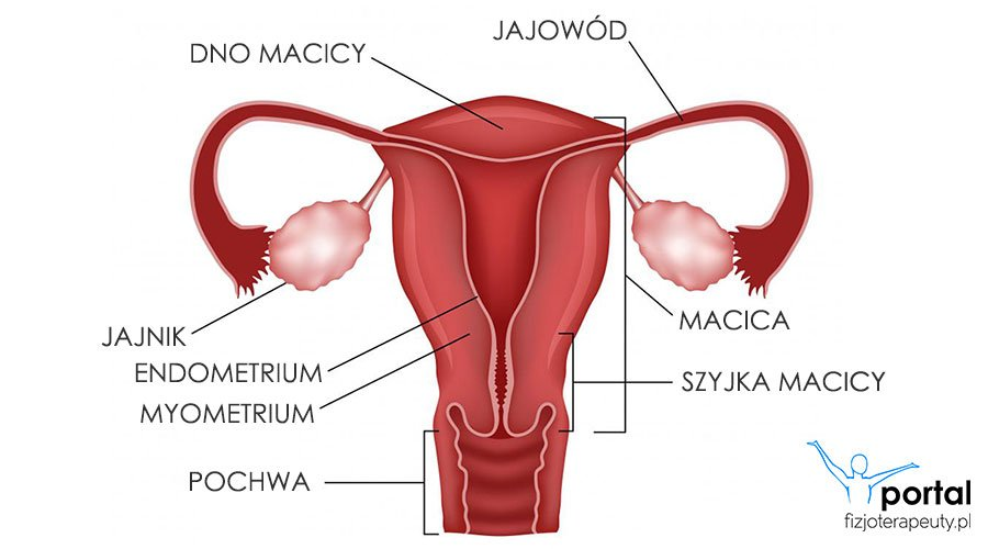 Narządy rodne kobiety anatomia