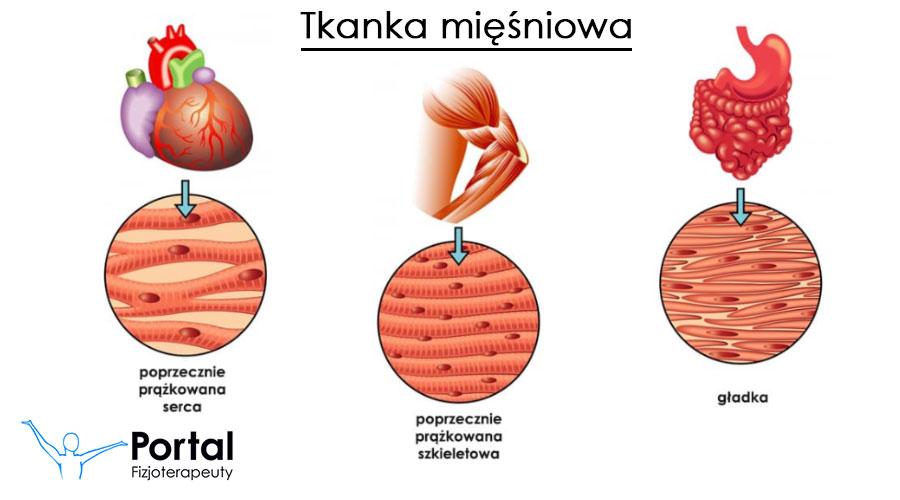 Tkanka mięśniowa - rodzaje, budowa, funkcje