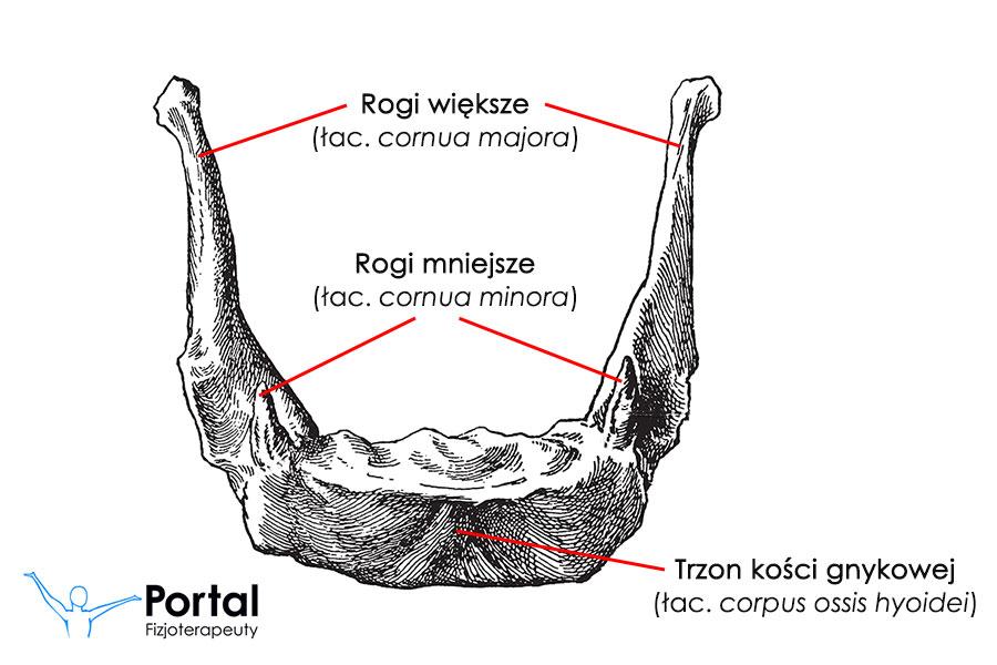 Kość gnykowa (łac. os hyoideum)