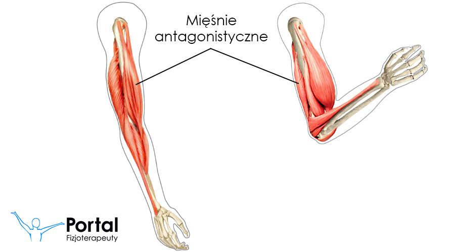 Mięśnie antagonistyczne
