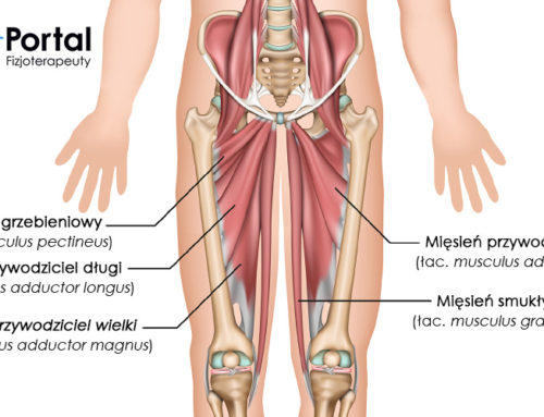 Mięśnie przywodziciele kończyny dolnej