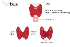 Tarczyca / Gruczoł tarczowy (łac. Glandula thyroidea)