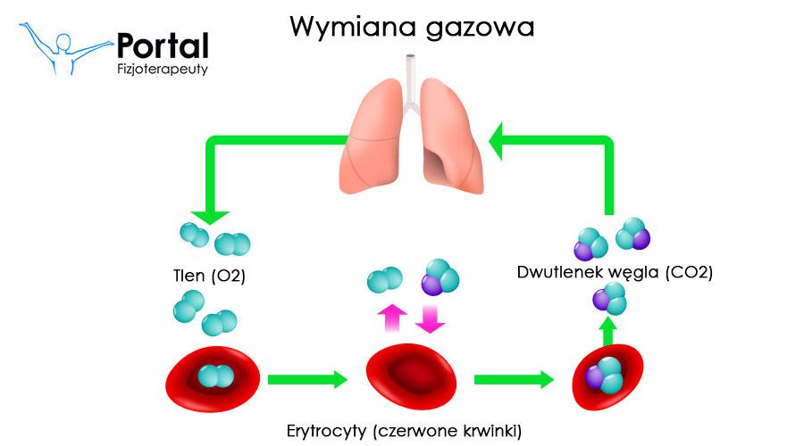 Wymiana gazowa - erytrocyty