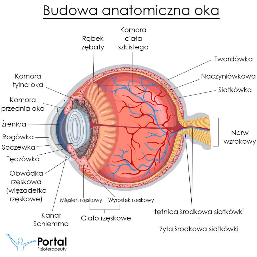 Oko budowa anatomiczna