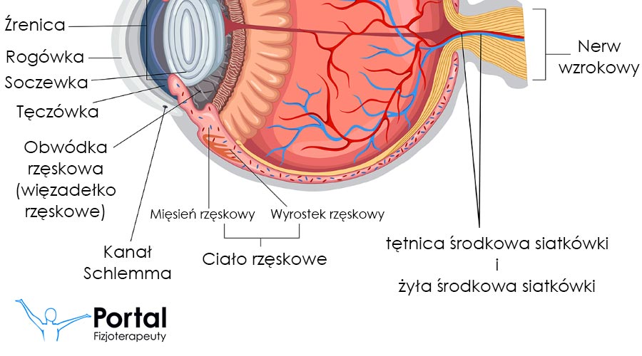 Oko budowa