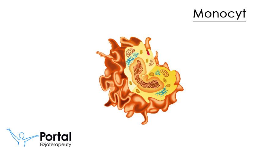 Monocyty