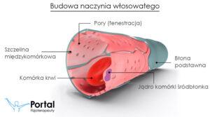 Angiogeneza (budowa naczynia włosowatego)