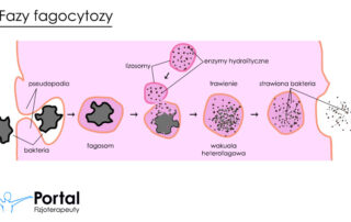 Fagocytoza