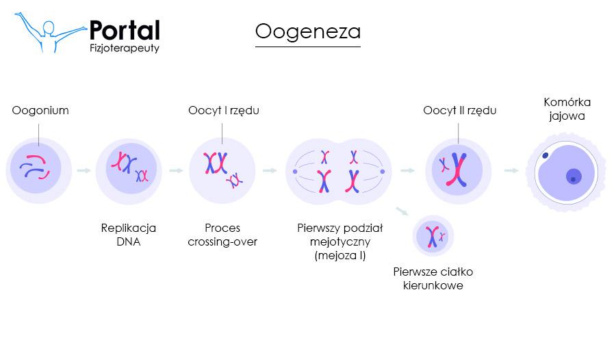 Oogeneza