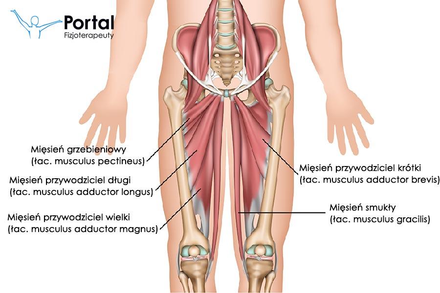 Mięśnie uda – grupa przyśrodkowa