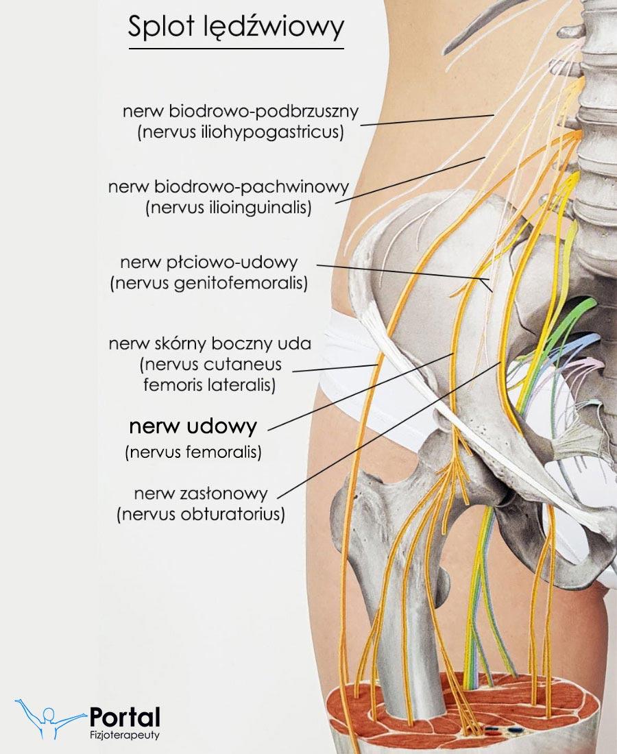 Nerw udowy (łac. nervus femoralis)